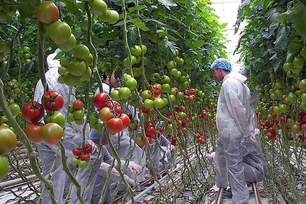 Открытки, секрет выращивания помидор прикольные картинки