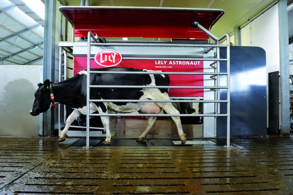 Cow-walking