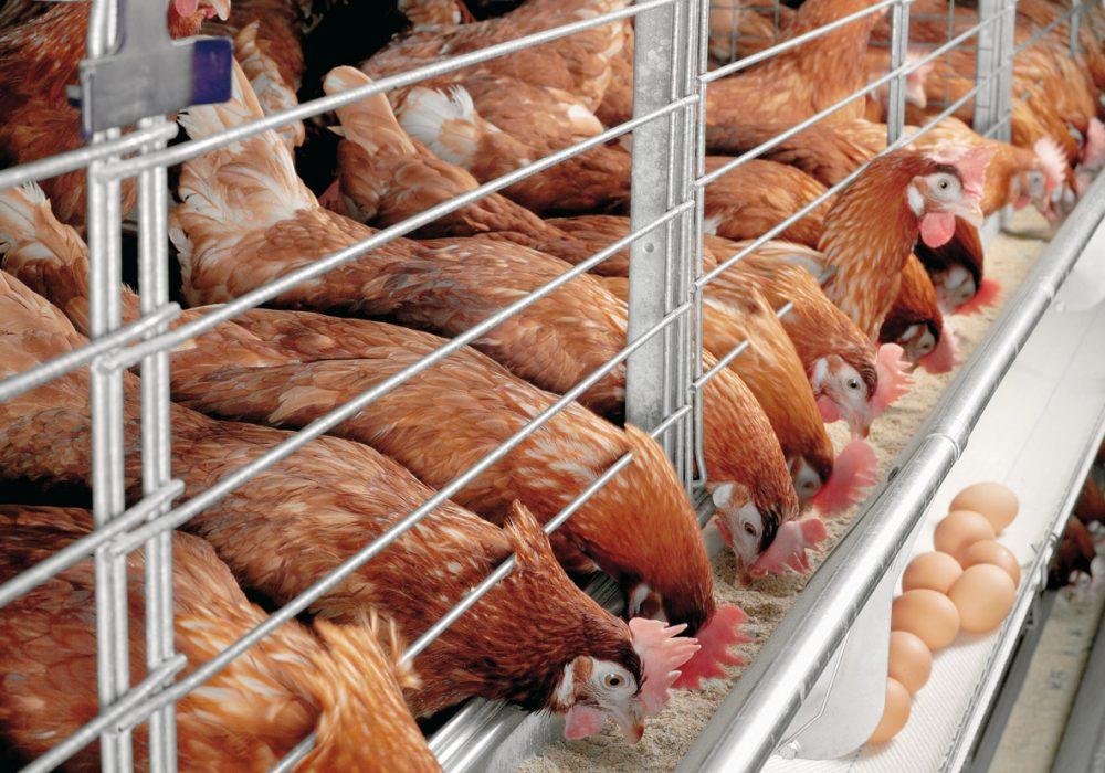 Продается птицефабрика, признанная самым динамичным саратовским предприятием