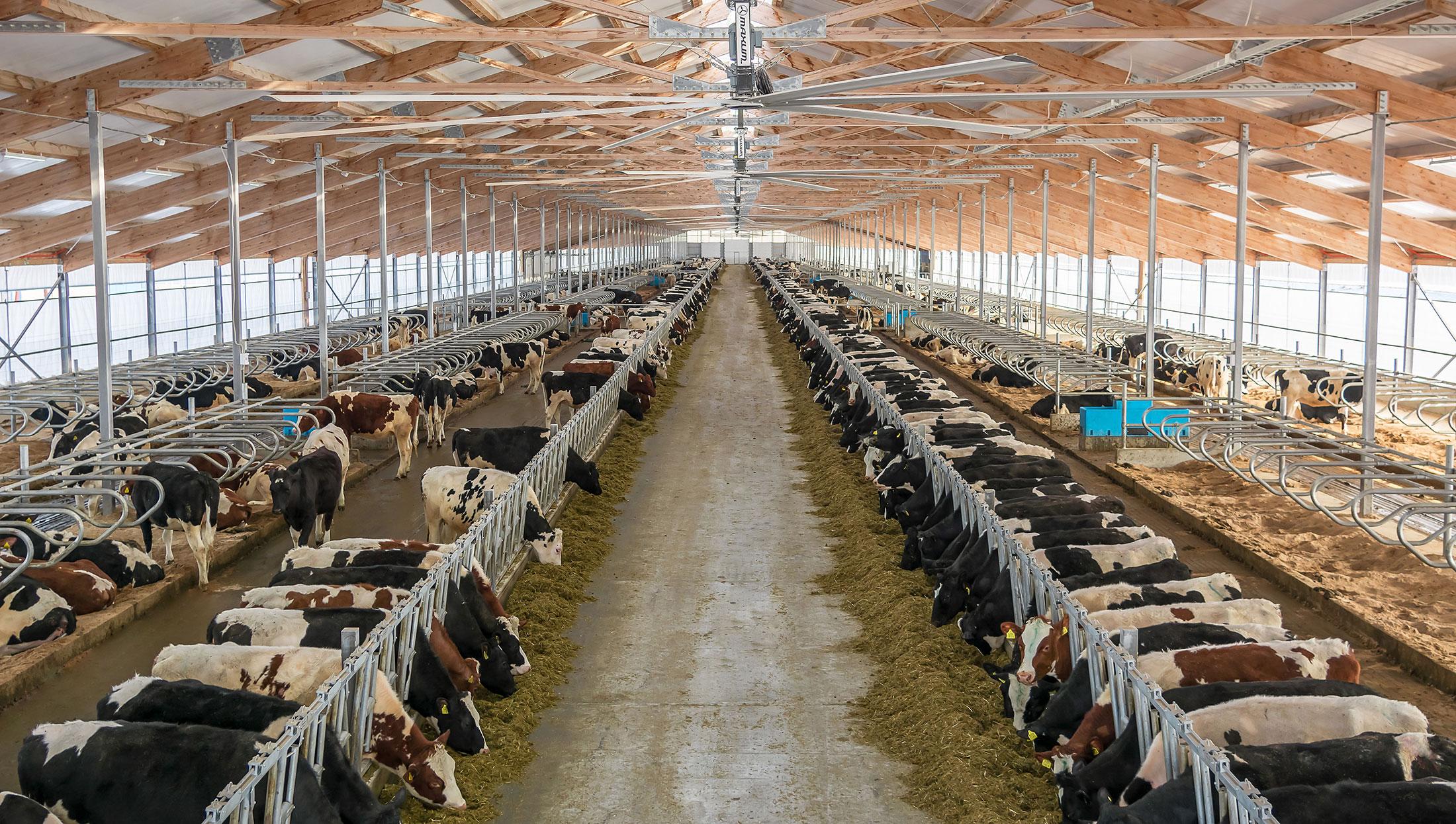 Danone перебрасывает 5000 элитных коров изГолландии вСибирь