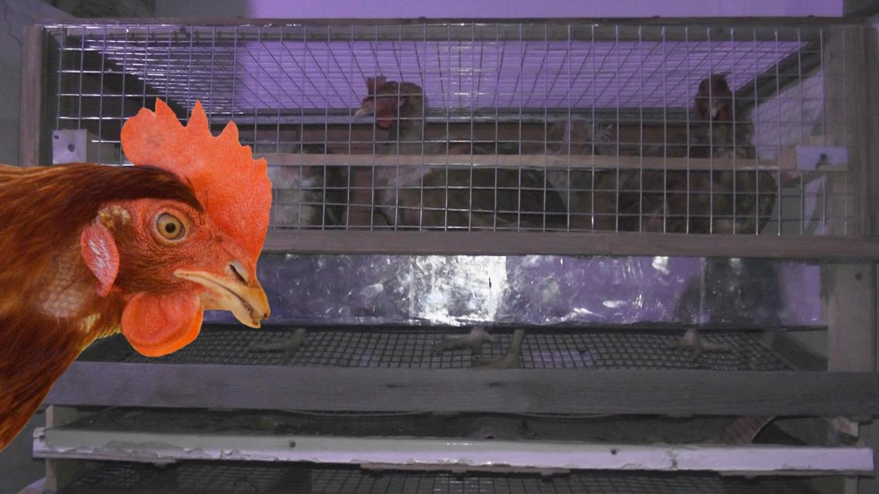 Ни пуха, ни пера: обанкротившийся саратовский птицесовхоз распродает пустые клетки