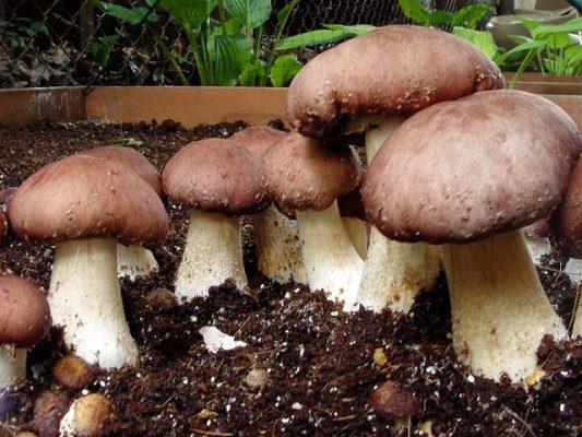 Выращивание белых грибов в квартире видео