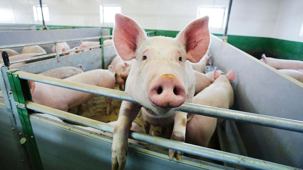 Субсидии застряли в Широком Буераке: саратовские свиноводы не хотят возвращать деньги минсельхозу