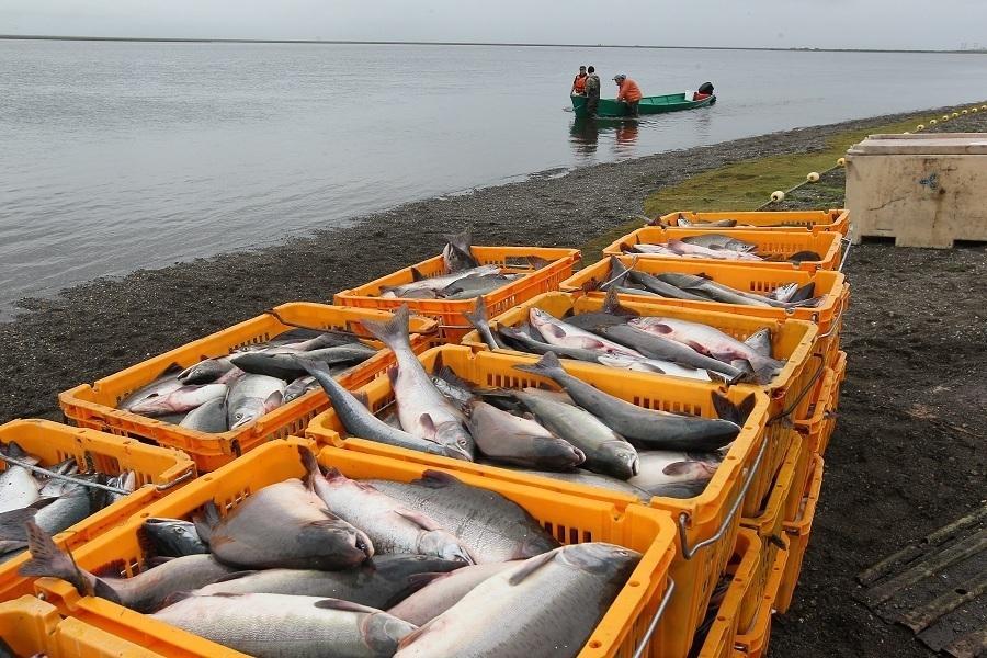 При этом учитывается вся рыба, включая завяленную, засоленную, закопченную и т.п.