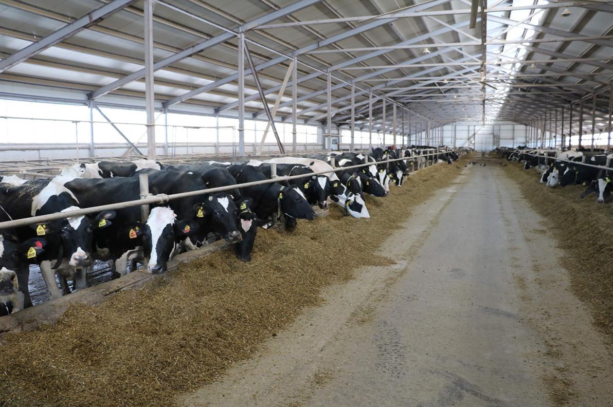коровы бая