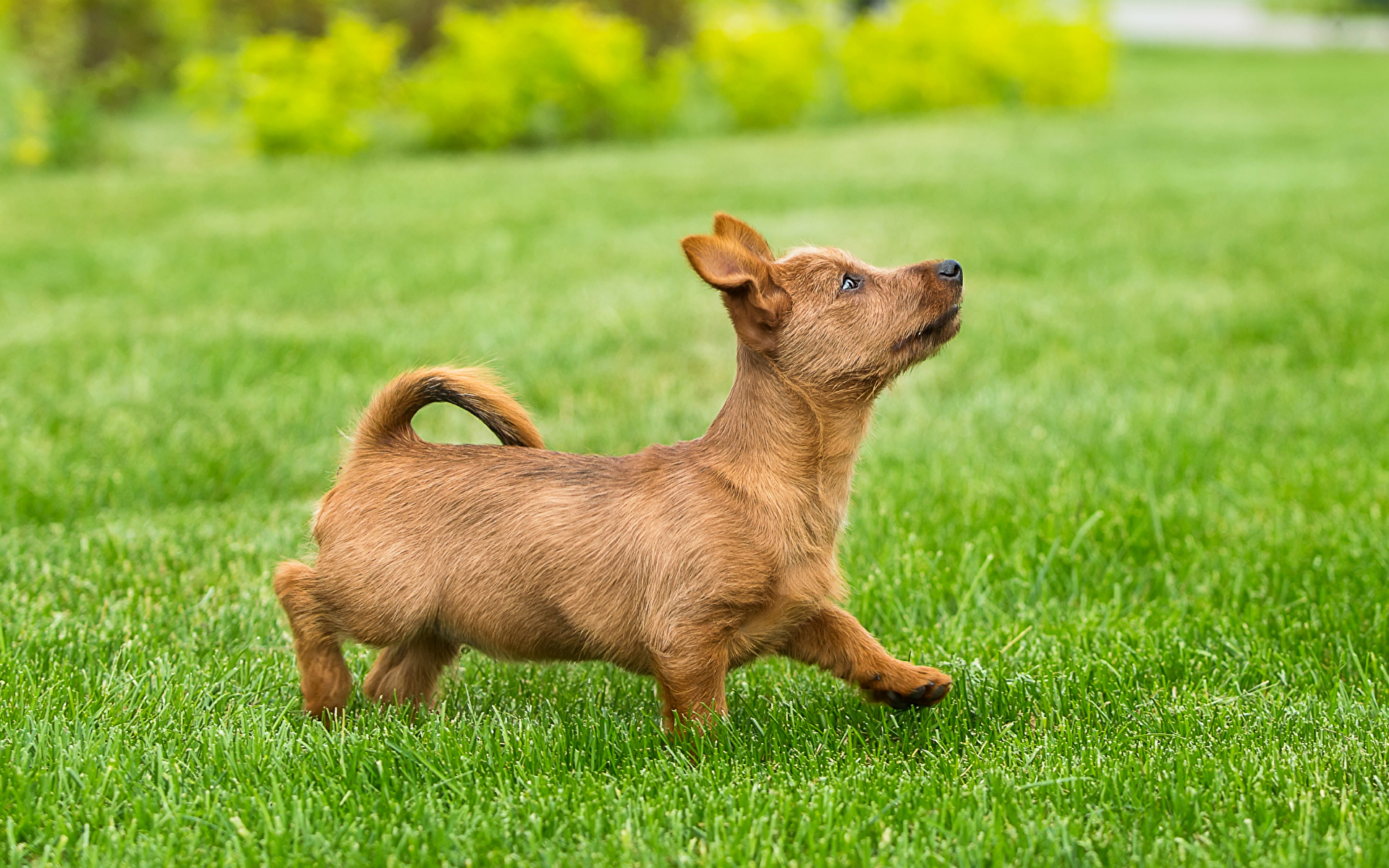 Dogs_Grass_Lawn_Puppy_468810_1920x1200